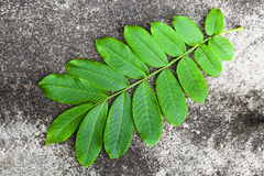 Single  leaf set Stock Image