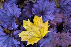A single leaf sits on heuchera plant. Royalty Free Stock Photos
