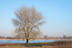 Single leafless tree on the banks of a Dutch river. Single leafless tree on the banks of the Dutch river Waal in the evening sun stock photos