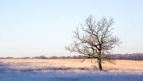 Single leafless tree in the middle of a field. Lit by the morning sun royalty free stock image