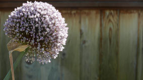 Single leek blossom. Single purple leek blossom against a brown wood fence with room for copy Stock Photo