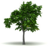 Single Lemon Tree Royalty Free Stock Photo