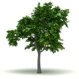 Single Lemon Tree Royalty Free Stock Photo
