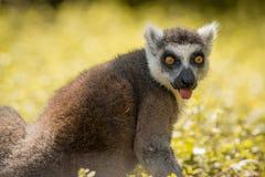 Single Lemur staring directly at camera, tongue out, soft background. Single Lemur staring directly at camera royalty free stock photography