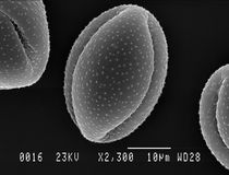 Single lesser celandine pollen grain Royalty Free Stock Images