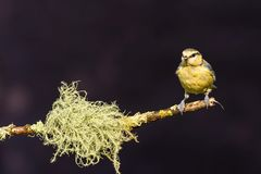 Single light blue tit perched on twig with strange lichen. Horizontal photo of young blue tit bird. Songbird is perched on branch with big strange green lichen Royalty Free Stock Image