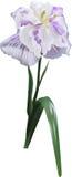 Single light lilac iris isolated on white Royalty Free Stock Image