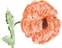 Single light poppy flower isolated on white Royalty Free Stock Photos