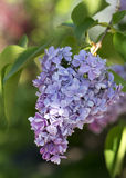 Single Lilac Blossom Royalty Free Stock Photos
