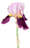 Single lilac iris isolated on white Stock Images
