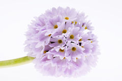 Single lilac spring  flower of primula isolated on white background Stock Photo