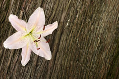 Single lily flower on wood Stock Photography