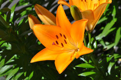Single Lily (Lilium) of orange color with fresh green leaves as background Stock Image