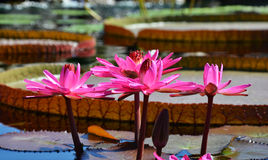 Single Lily Pad on a Pond Royalty Free Stock Images
