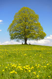 Single linden tree. In Bavaria at spring stock image