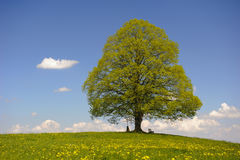 Single linden tree Royalty Free Stock Photo