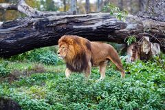 Single lion goes. Against the background of green thickets. Selective focus royalty free stock image