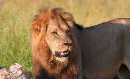 Single Lion (panthera leo) in savannah Royalty Free Stock Photo