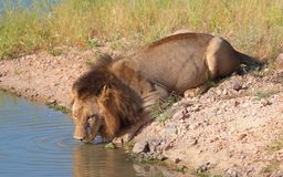 Single lion (panthera leo) in savannah Royalty Free Stock Image