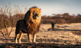 Single lion standing proudly on a small hill Royalty Free Stock Photos