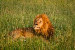 Single lion in sunset light on african savannah stock images