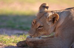 Single lioness (panthera leo). Cleaning her paw lying in savannah in South Africa Royalty Free Stock Photo