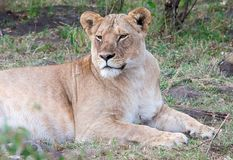 Lioness lying down but alert Stock Images
