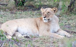 Lioness lying down but alert Stock Photos