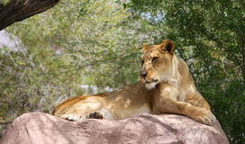 Single Lioness On Rock. Lioness lying on a large rock in the shade stock photo