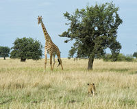 Single lioness stalking a giraffe Royalty Free Stock Images