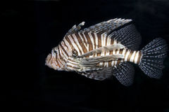 Single Lionfish. The majestic lionfish swimming in dark waters Royalty Free Stock Images