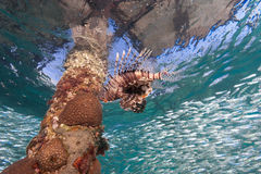 Single Lionfish hunting silversides underneath a manmade jetty Royalty Free Stock Image