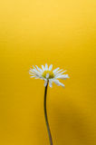 Single little daisy flower on bright yellow textured background Stock Images