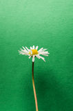 Single little daisy flower on dark green textured background Royalty Free Stock Photography