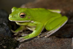 Single little green tree frog Stock Photo
