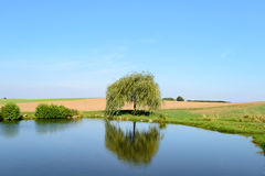 Single little weeping willow tree near pond. Single little weeping willow tree reflecting in calm pond under blue sky in rural area stock photos