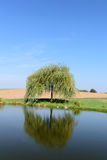 Single little weeping willow tree near pond Royalty Free Stock Photos