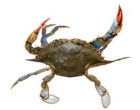 Single live crab i Royalty Free Stock Images