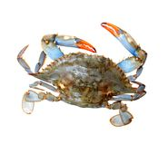 Single live crab royalty free stock images