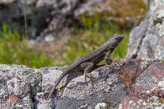 Lizard basking in the afternoon sunlight on a rock. A single lizard basking on a rock out in Rancho Nicasio, California Royalty Free Stock Photo