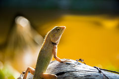 Single lizard Royalty Free Stock Photography