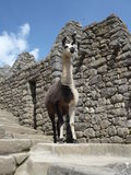 Single Llama Incan Ruins. Single white and brown llama standing among Incan ruins Royalty Free Stock Photo