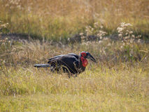Single lone male African southern ground hornbill feeding in high grass, safari in Moremi NP, Botswana. Africa Royalty Free Stock Images