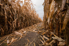 A Single Lone Path in a Corn Maze During the Fall Time. A single path down a corn maze is strewn with the golden husks Royalty Free Stock Photos