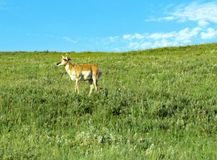 Single lone pronghorn on hillside Stock Photo
