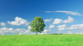 Single lone tree. Lonely tree on a meadow against sky with clouds stock footage