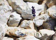 Single lonely blue flower growing in the stones in mountains Stock Image