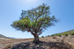 Single lonely green tree growing in Morocco royalty free stock photography