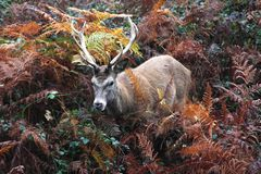 Autumn camouflage with single deer stag. A single lonely male stag with antlers hiding in the autumn foilage camouflage of nature stock photo