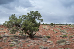 Single lonely tree growing in the middle of desert Royalty Free Stock Photo